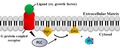 PLC role in IP3-DAG pathway.tif