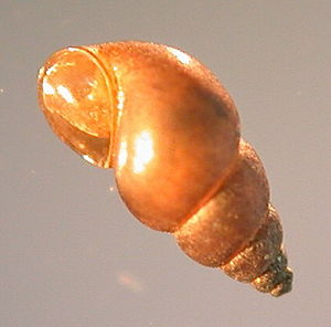 Host–parasite coevolution - Potamopyrgus antipodarum tends to reproduce sexxually when in the presence of trematode parasites.