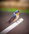 Pacific Swallow Malaysia3.jpg