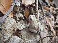 Pacific tree frog (19168355468).jpg