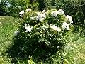 Paeonia (Poltava Botanical garden).jpg