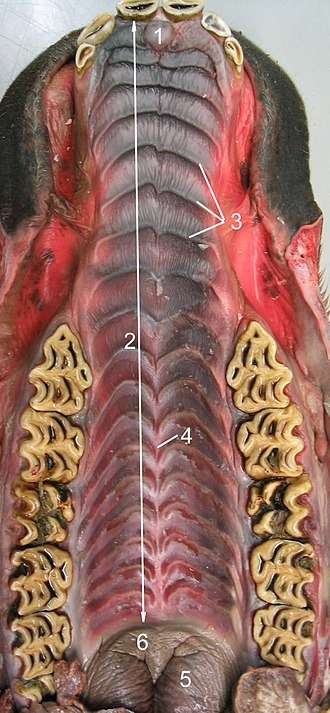 Horse teeth - A view of the upper half of an immature horse's mouth.