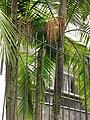 Palma de Cunningham (Archontophoenix cunninghamiana) (14525556261).jpg