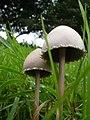 Panaeolus papilionaceus - geograph.org.uk - 242428.jpg