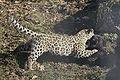 Panthera onca zoo Salzburg 2009 15.jpg