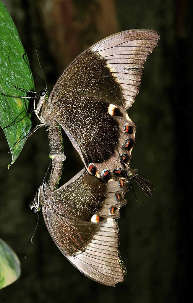 Ulysses Butterfly File:Papilio ul...