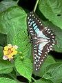 Papilionidae (20177246571).jpg