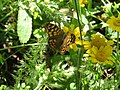 Papillon Pararge aegeria.jpg