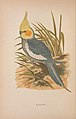 Parrots in captivity (Vol. 1. PL. 07) Cockatiel (8514936281).jpg