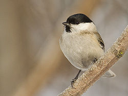 Parus palustris01.jpg