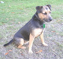 Patterdale Terrier Puppy Dogs