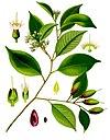Payena leeri - Köhler–s Medizinal-Pflanzen-235.jpg