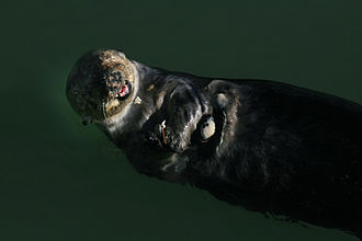 Female sea otter eating clams in Moss Landing, California Pea crab is riding on female sea otter.JPG