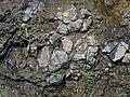 Pedogenic breccia (Conemaugh Group, Upper Pennsylvanian; creek cut on the western side of Caldwell, Ohio, USA) 14.jpg