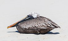 Pelícano pardo de las Galápagos (Pelecanus occidentalis urinator), Bahía Tortuga, isla Santa Cruz, islas Galápagos, Ecuador, 2015-07-26, DD 32