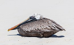 A bird sitting down on sand, his neck pulled in his plumage and his head and long beak like laid down on it.