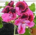 Pelargonium flower2.JPG