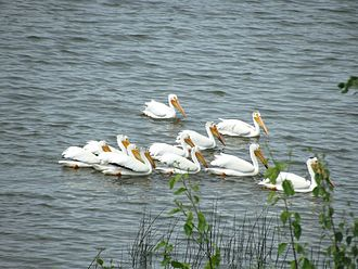 Elk Island National Park - Pelicans on Astotin Lake