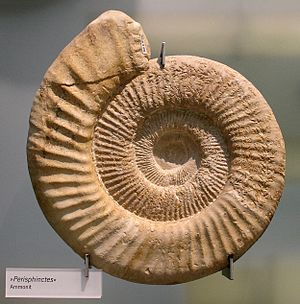 History of the Ruhr - Ammonite in the Museum of Natural History in Berlin