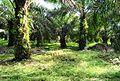 Perkebunan kelapa sawit milik rakyat (37).JPG
