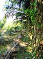 Perkebunan kelapa sawit milik rakyat (80).JPG