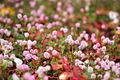 Petites fleurs - IMGP1722.jpg