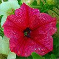 Petunia roja al cuadrado (5727082366).jpg
