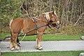 Pferde einer Pferdekutsche Hiddensee 20181031 001.jpg
