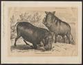 Phacochoerus africanus - 1700-1880 - Print - Iconographia Zoologica - Special Collections University of Amsterdam - UBA01 IZ21900245.tif