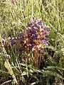 Phelipanche purpurea sl3.jpg