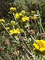 Phlomis fruticosa - Ασφάκα.jpg
