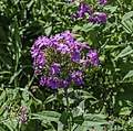 Phlox in Norfolk Botanical Garden.jpg