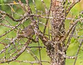 Phoenicurus ochruros female in Aveyron (4).jpg