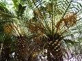 Phoenix canariensis - date palm - Dattelpalme - dattier - Oasis Park - Fuerteventura - 01.jpg