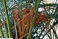 Phoenix canariensis 16zz.jpg