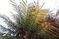 Phoenix roebelenii 45zz.jpg
