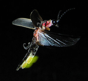 Bioluminescence - Flying and glowing firefly, Photinus pyralis