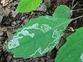 Phytoliriomyza melampyga 2a1.jpg