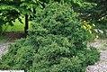 Picea abies Pumila 2zz.jpg