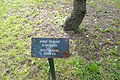 "Picea pungens ""Argentea"" - City Park in Lučenec (1).jpg"