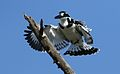 Pied Kingfisher, Ceryle rudis, at Pilanesberg National Park, South Africa (27859064684).jpg