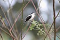 Pied Water Tyrant (Fluvicola pica) (4090134846).jpg