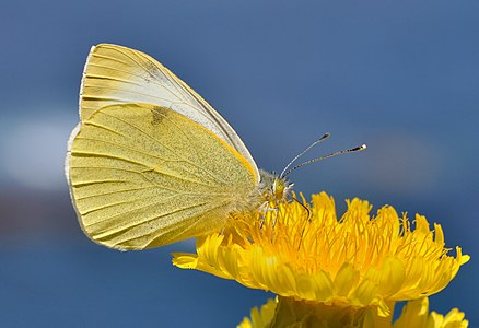 Canary Islands Large White