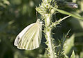 Pieris rapae - Small white 06.jpg