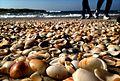 PikiWiki Israel 29437 Kinneret beach full of shells.jpg