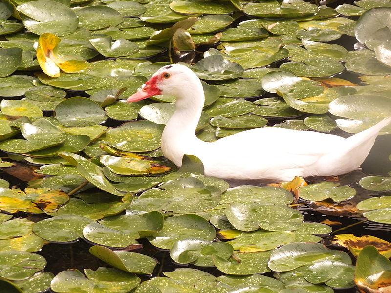 ברווז לבן  ביער חדרה
