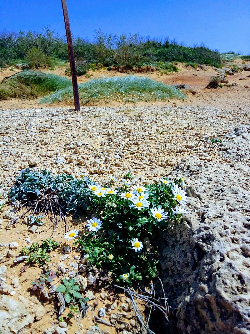 פריחה בשמורת חוף השרון