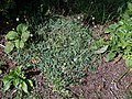 Pilosella officinarum 2021-09-01 0097.jpg