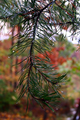 Pine-tree-rain-drop - West Virginia - ForestWander.png