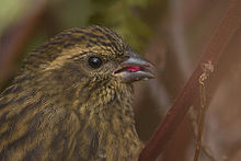 Pink-browed Rosefinch Pangolakha Wildlife Sanctuary East Sikkim Sikkim India 19.10.2015.jpg